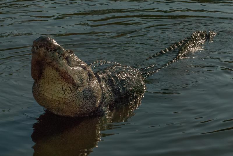 NAc938 American Alligator (Alligator mississippiensis) Displaying, Gatorland, FL