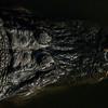 NAc951 American Alligator (Alligator mississippiensis),  Gatorland, FL