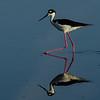 NAb5735 Black-necked Stilt (Himantopus mexicanus), Merritt Island NWR, FL