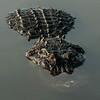 NAc997 American Alligator (Alligator mississippiensis),  Gatorland, FL