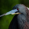 NAb5927 Tricolored Heron (Egretta tricolor), Gatorland, FL