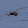 NAb5195 Reddish Egret (Egretta rufescens) Flying, Merritt Island NWR, FL