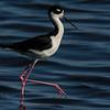 NAb5488 Black-necked Stilt (Himantopus mexicanus), Merritt Island NWR, FL
