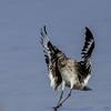 NAb5305 Willet (Tringa semipalmata), Landing, Ft DeSoto State Park, FL