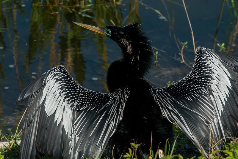 NAb5602 Anhinga (Anhinga anhinga) Drying Wings, Viera Wet;ands, FL