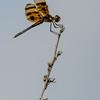 NAd146 Halloween Pennant (Celithemis eponina) Dragonfly, Circle B Bar Reserve, FL