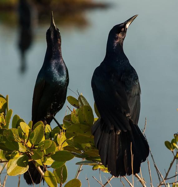 NAb5692 Boat-tailed Grackle (Quiscalus major) Courtship Display, Merritt Island NWR, FL