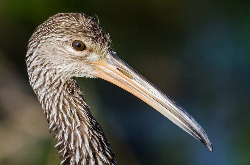 NAb6138 Limpkin, (Aramus guarauna), Circle B Bar Reserve, FL