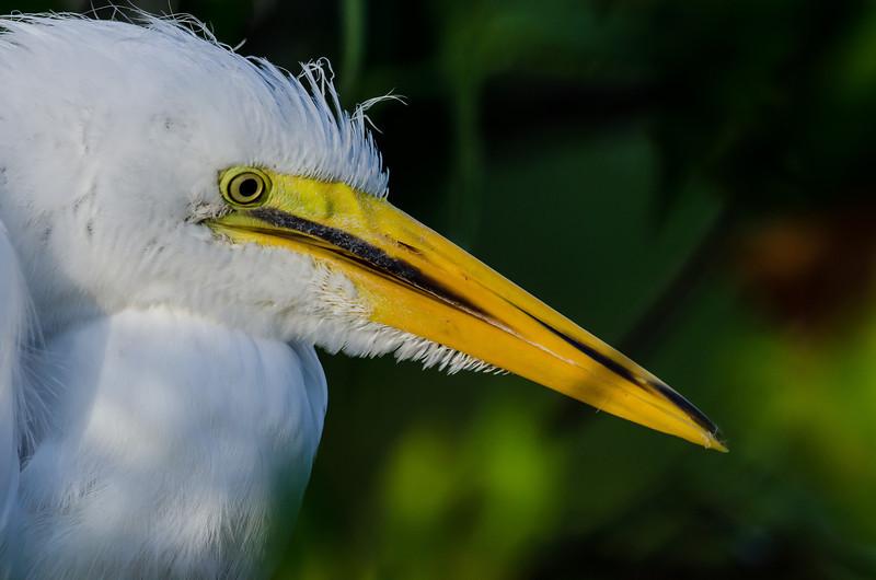 NAb5881 Great Egret (Ardea alba) Chick, Gatorland, FL