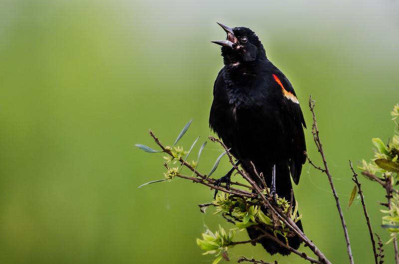 NAb6129 Red-winged Blackbird (Agelaius phoeniceus) Singing, Circle B Bar Reserve, FL