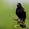 NAb6129 Red-winged Blackbird (Agelaius phoeniceus) Singing, Circle B Bar Reserve, FL