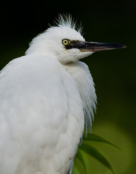 NAb6482 Snowy Egret (Egretta thula) Chick, Gatorland, FL