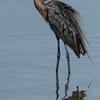 NAb5183 Reddish Egret (Egretta rufescens), Merritt Island NWR, FL