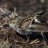 NAb5384 Least Sandpiper (Calidris minutilla), Ft DeSoto State Park, FL