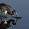 NAb5743 Tricolored Heron (Egretta tricolor) Fishing, Merritt Island NWR, FL