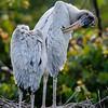 NAb6404 Wood Stork (Mycteria americana) Chick Preening, Gatorland, FL