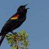 NAb5214 Red-winged Blackbird (Agelaius phoeniceus) Singing, Merritt Island NWR, FL