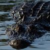 NAc999 American Alligator (Alligator mississippiensis),  Gatorland, FL