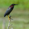 NAb6121  Green Heron (Butorides virescens), Circle B Bar Reserve, FL