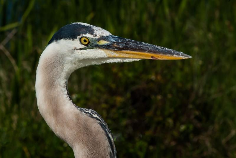 NAb5599 Great Blue Heron (Ardea herodias), Viera Wetlands, FL
