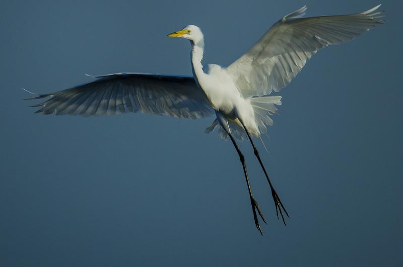 NAb5716 Great Egret (Ardea alba), Merritt Island NWR, FL