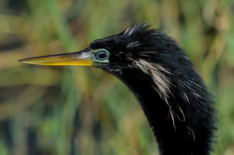 NAb5657 Anhinga (Anhinga anhinga), Viera Wetlands, FL