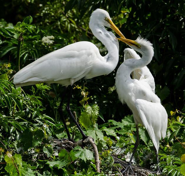 NAb6577 Great Egret (Ardea alba) Feeding Chick, Gatorland, FL