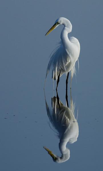 NAb5782 Great Egret (Ardea alba) Breeding Plumage, Merritt Island NR, FL