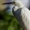 NAb6011 Snowy Egret (Egretta thula), Gatorland, FL