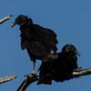 NAb5531  Black Vulture (Coragyps atratus), Merritt Island NWR, FL