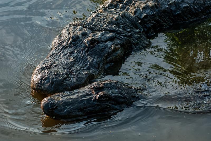 NAc902 American Alligator (Alligator mississippiensis),  Gatorland, FL