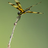 NAd140 Halloween Pennant (Celithemis eponina) Dragonfly, Circle B Bar Reserve, FL