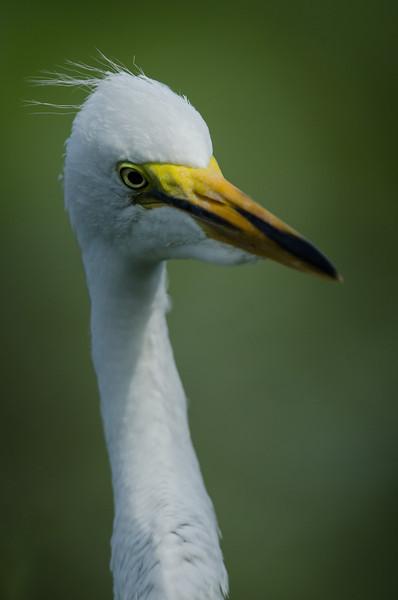 NAb6472 Great Egret (Ardea alba) Chick, Gatorland, FL