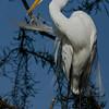 NAb6043 Great Egret (Ardea alba) Preening, Gatorland, FL