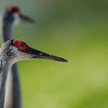 NAb5684 Sandhill Crane (Grus canadensis), Viera Wetlands, FL