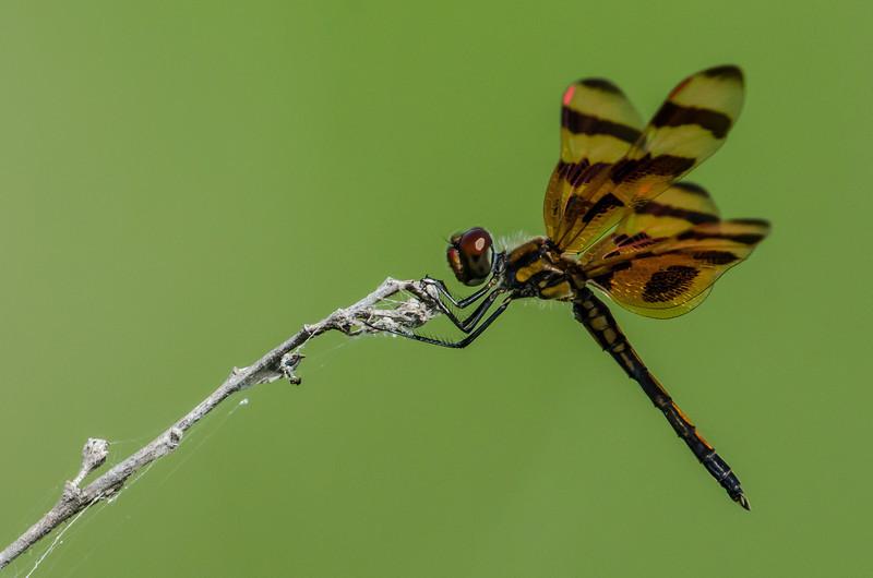 NAd134 Halloween Pennant (Celithemis eponina) Dragonfly, Circle B Bar Reserve, FL