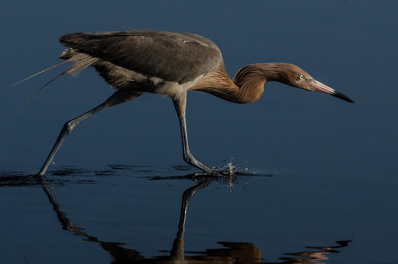 NAb5135 Reddish Egret (Egretta rufescens) Fishing, Merritt Island NWR, FL