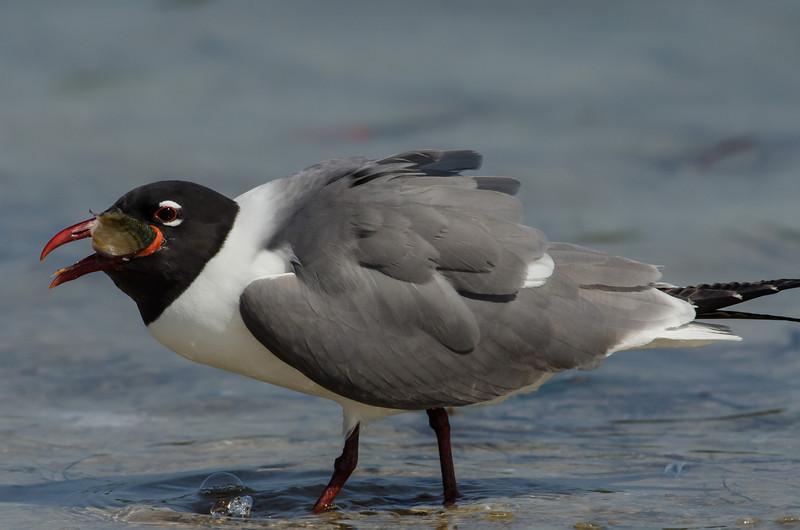 NAb5225  Laughing Gull (Leucophaeus atricilla) Eating Fish, Ft DeSoto State Park, FL