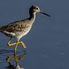 NAb5425 Greater Yellowlegs (Tringa melanoleuca), Merritt Island NWR, FL