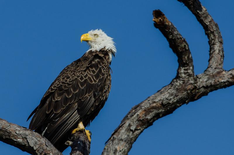 NAb4974 Bald Eagle (Haliaeetus leucocephalus), Merritt Island NWR, FL