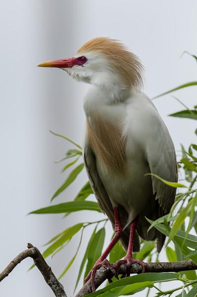 NAb6559 Cattle Egret (Bubulcus ibis), Breeding Plumage, Gatorland, FL