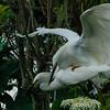 NAb6505 Snowy Egrets (Egretta thula) Mating, Gatorland, FL