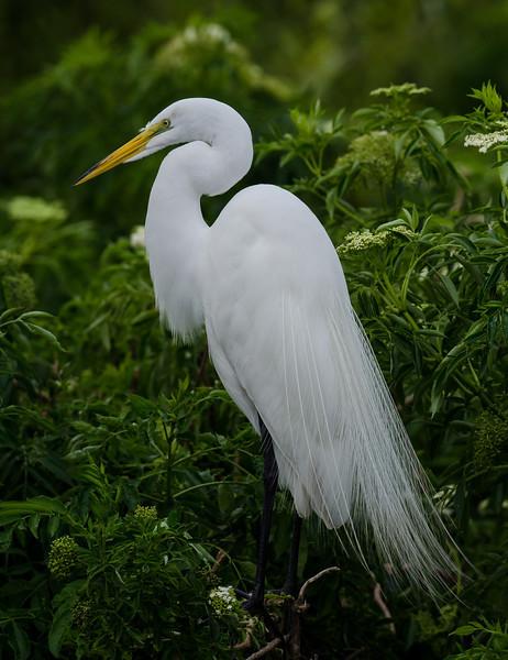 NAb6534 Great Egret (Ardea alba) Breeding Plumage, Gatorland, FL