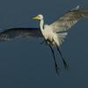 NAb5717 Great Egret (Ardea alba), Merritt Island NWR, FL