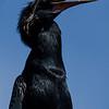 NAb6053 Anhinga (Anhinga anhinga), Gatorland, FL
