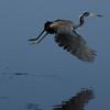 NAb5828 Tricolored Heron (Egretta tricolor) Take-off, Merritt Island NWR, FL
