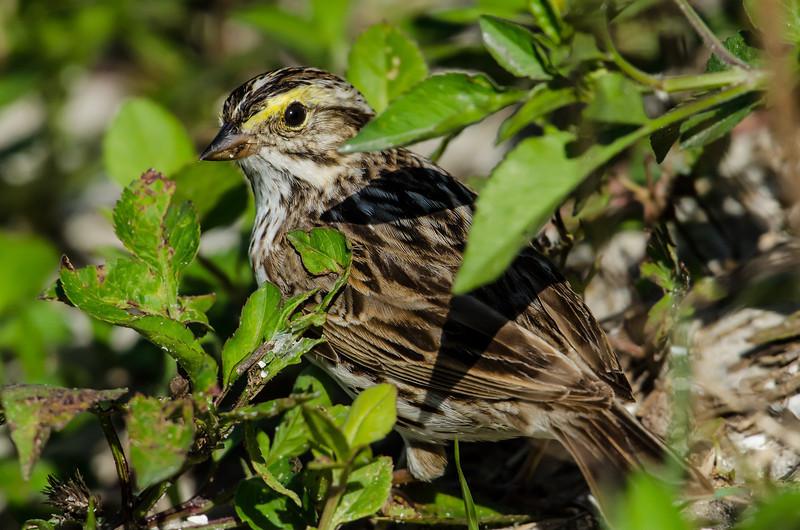 NAb5624 Savannah Sparrow (Passerculus sandwichensis), Viera Wetlands, FL