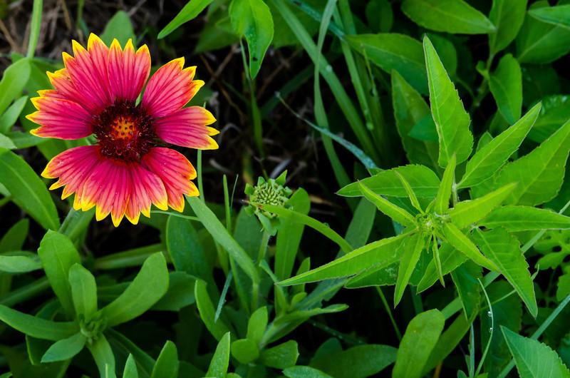 NBa1231 Blanket Flower (Gaillardia Aristata), Merritt Island, FL
