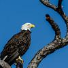 NAb4980 Bald Eagle (Haliaeetus leucocephalus), Merritt Island NWR, FL