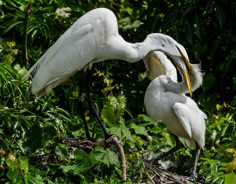 NAb6574 Great Egret (Ardea alba) Feeding Chick, Gatorland, FL